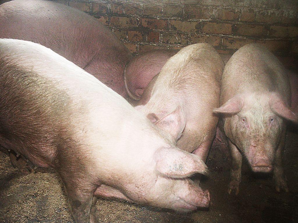 Užtikrinant biologinę saugą, kiaulės negali būti laikomos lauke. Dariaus Šypalio nuotr.