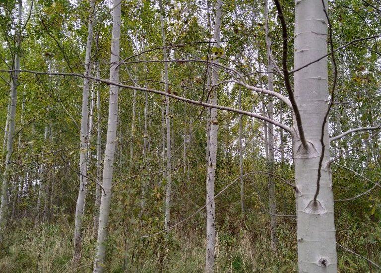 """""""Drebulynais apsodinome daug žemės ūkiui netinkamos žemės. Jei tos paramos nebūtų buvę, tai ir niekas nebūtų sodinę. O dabar drebulės kaina pakilusi ir niekas jau nebesako, kad ji miško piktžolė, ne medis"""", – sako miškininkas E. Puidokas. Egidijaus Puidoko asmeninio archyvo nuotrauka"""